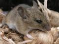 muis in huis