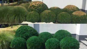 Buxussen voor de groene verf en erna
